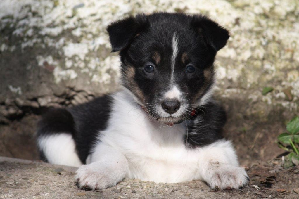 schaapskooi border collie