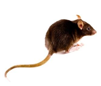 Bruine rat in Beemd Noord